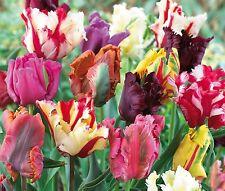 """(10) Perennials  """"Spectacular Tulip Beauty Mix""""  New Flower Bulbs"""
