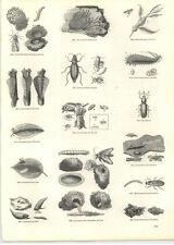 1854 Engravings Churchyard Beetle Bark Mining Weevils
