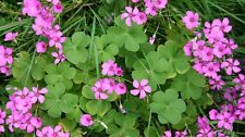 Oxalis Articulata Shamrock Bulb Clover Plants with PRECIOUS DAINTY PINK FLOWER