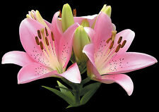 "Valentine's Day Quality Card ""Pink Tiger Lily ""   Same Day Despatch Freepost!"