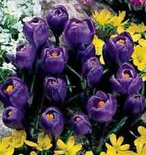 "100 X ""FLOWER RECORD CROCUS"" SPRING FLOWERING CORMS/BULBS SIZE 7/8."