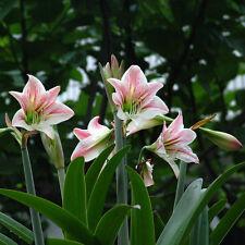 2 Bulbs Plants Elvas Double Flower Amaryllis Hippeastrum - Elvas Amaryllis Seeds