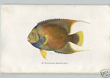 1933 Book Plate Print Tropical Fish Blue Angelfish Angelichthys Ciliaris