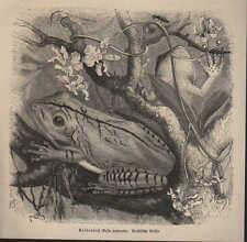 Druck 1878: Kolbenfuß (Hyla palmata). Laubkleber (Hyla leucophyllata).