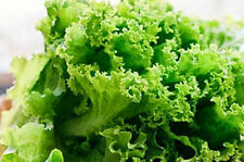 2700 Seeds Green Lettuce Seeds Lactuca Sataiva Green leaf From Thailand.....