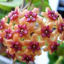 10 - 12  inches rooted plant of Hoya benguetensis