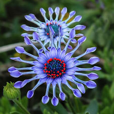 50x Blue Daisy hardy plants flower seeds exotic ornamental  home garden