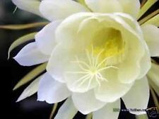 3 Queen of the Night Epiphyllum oxypetalum Live plants