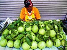Fruit Seeds - Giant Thailand Guava Seeds - 50 Seeds - Thai Guava - Home Garden