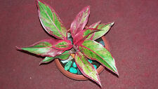 AGLAONEMA AURORA SIAM EVER GREEN EXOTIC HEALTHY PLANT 15-20 CM HOME OFFICE APT