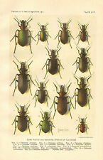 Calosoma, Insects, Beetles, Botanical, USDA, Vintage, 1911 Antique Print.