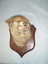 ANTIQUE TAXIDERMY MOUNTED OAK FOX HEAD MASK TROPHY.  .(P.SPICER).