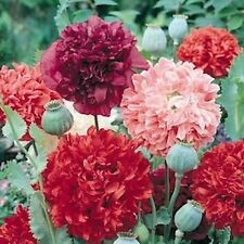 "25 Seeds ""GIANT DOUBLE MIX"" Peony Poppy Good Growing Fresh Flower Seeds"