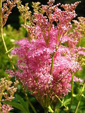 40 QUEEN OF THE PRAIRIE Pink Meadowsweet Filipendula Rubra Flower Seeds *CombS/H