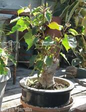 +100 graines Figuier des pagodes (Ficus religiosa) Peepal Bodhi Tree Samen Seeds