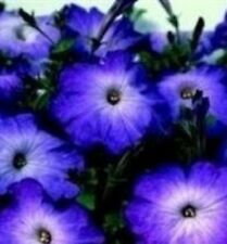 Petunia - Merlin Blue Morn - 50 Seeds