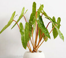 PHILODENDRON BILLIETIAE *Orange Petioles* The Most Awesome Rare Aroid +FREE HEAT