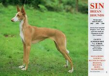 IBIZAN HOUND SIN KENNELS OUR DOGS 1987 DOG BREED KENNEL ADVERT PRINT PAGE