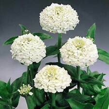 Zinnia Tall White  F1 Hybrid Summer Seeds | High Yield Variety | 50 Seeds