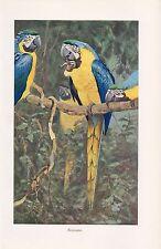 Gelbbrustara (Ara ararauna) ara perroquet impression couleur 1955 perroquets