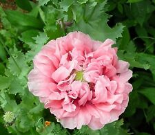 * PEONY POPPY PINK RUFFLED CENTER *GORGEOUS!! 100 SEEDS