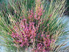 EFEDRA  medicinal Ephedra Fragilis 60 semillas seeds graines samen