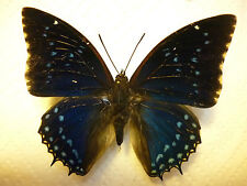 Real Butterfly/Moth Dried Insect Non Set. Charaxes tiridates( Dark Blue)..Large