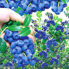 Blueberry seeds Canadian nectar Голубика Vaccinium uliginosum 0.05 g