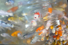 "PEANUTS"" - 110 LOT - 1-2"" ASSORTED MIXED Fin Live Baby KOI Pond Garden Fish KTTW"