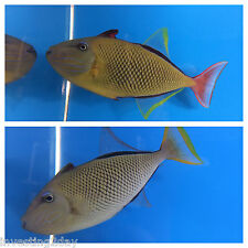 Crosshatch Triggerfish Pair Hawaiian Live Saltwater Aquarium Fish Hawaii Trigger