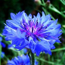 Blue Cornflower Seeds 50 Seeds Centaurea Cyanus Flower Garden Seeds Hot A056