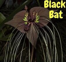 5 BLACK BAT FLOWER Tacca Chantrieri Cat's Whiskers Devil Flower Seeds