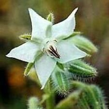 Herb Seeds - Borage White - 50 Seeds
