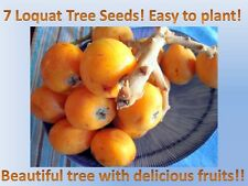 Loquat tree seeds!Delicious fruits! Free Shipping!