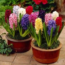 Winter Flower bulb - Hyacinth Flower Bulb Mix colour - 4 bulb
