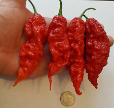 Giant Ghost Pepper! 1000 Live High Quality Seeds! Worlds Hottest! Wholesale!