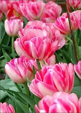 5  Tulip Bulbs ‑ Foxtrot‑Double,Excellent for forcing: 12 cm/up, Now Shipping
