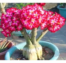 Rare Flower Pink Adenium Obesum Desert Rose Bonsai Tree Plant Seed 5PC ♫