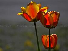 TULIPS FLOWER BACKLIT SPRING RED ORANGE PHOTO ART PRINT POSTER PICTURE BMP497A