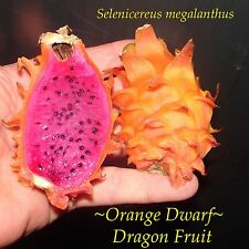 ~Orange Dwarf~ Dragon Fruit Selenicereus megalanthus Pitaya Rare 10 Fresh Seeds