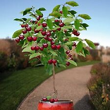 DWARF CHERRY TREE * 3-4 FT* GREAT PATIO POTTED TREE FLOWERING FRUIT TREES PLANTS