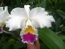 Lc. Mem. Florence Conquista New Seedling Cattleya Orchid Plant