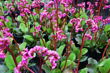 Bergenia Winter Glut in 9cm pot