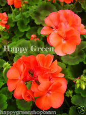 F2 - GARDEN GERANIUM SALMON - 10 seeds -Pelargonium hortorum - Perennials Flower