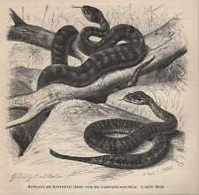 Druck 1878: Gelbotter; Todesotter (Alecto curta; Acanthophis antarcticus).