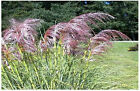 PINK DELIGHT ORNAMENTAL PAMPAS GRASS SEEDS OVER 100 + SEEDS