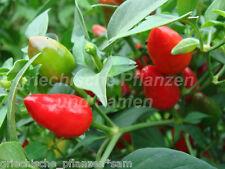PAKISTAN Chili 10 Semi Peperoncino rosso camera Piccanti l'intero anno
