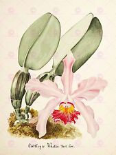 PAINTING BOOK PAGE ORCHID CATTLEYA WHITEI LARGE ART PRINT POSTER LF1435