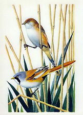 Antique Old Vintage TUNNICLIFFE Lithograph Art Bird Print Bearded Reedling Tit