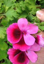 SCENTED GERANIUM MIXED 6 PLANT COMBO + FREE SHIPPING! AWESOME COLLECTION!!!